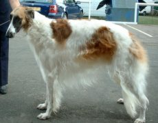 Borzoi Dog Info, Mixes, Temperament, Training, Puppies ...