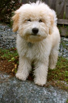 Whoodle Wheaten Terrier Poodle Mix Info Temperament
