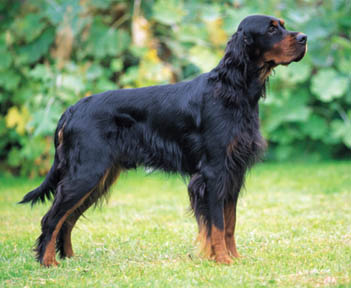 Gordon Setter Info, Temperament, Care, Training, Puppies, Pictures