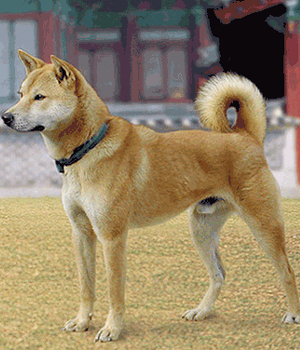 Korean-Jindo-Pictures.jpg