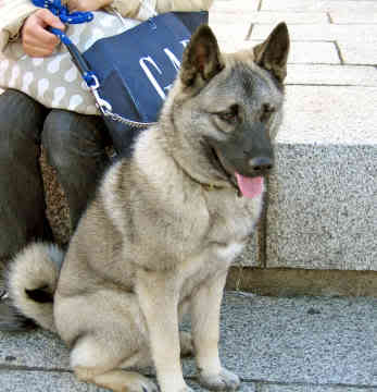 norwegian elkhound german shepherd mix norwegian elkhound husky mix ...
