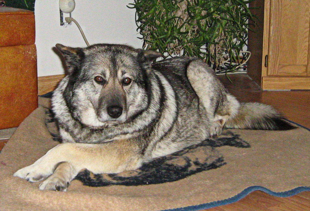 ... elkhound norwegian elkhound dog norwegian elkhound german shepherd mix