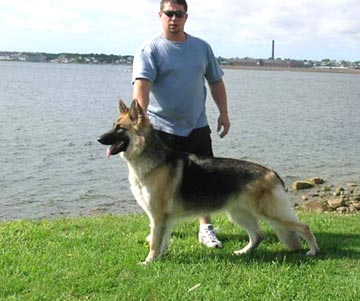 Shiloh Shepherd Info Puppies Breeders Temperament Pictures