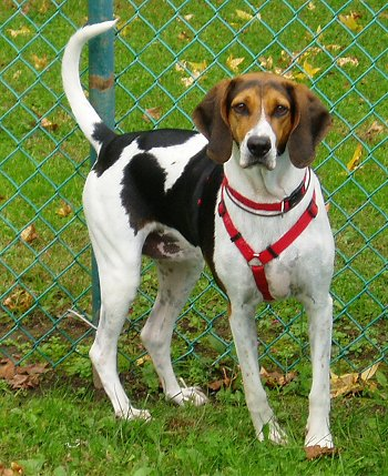 American Foxhound Facts Temperament Training Puppies