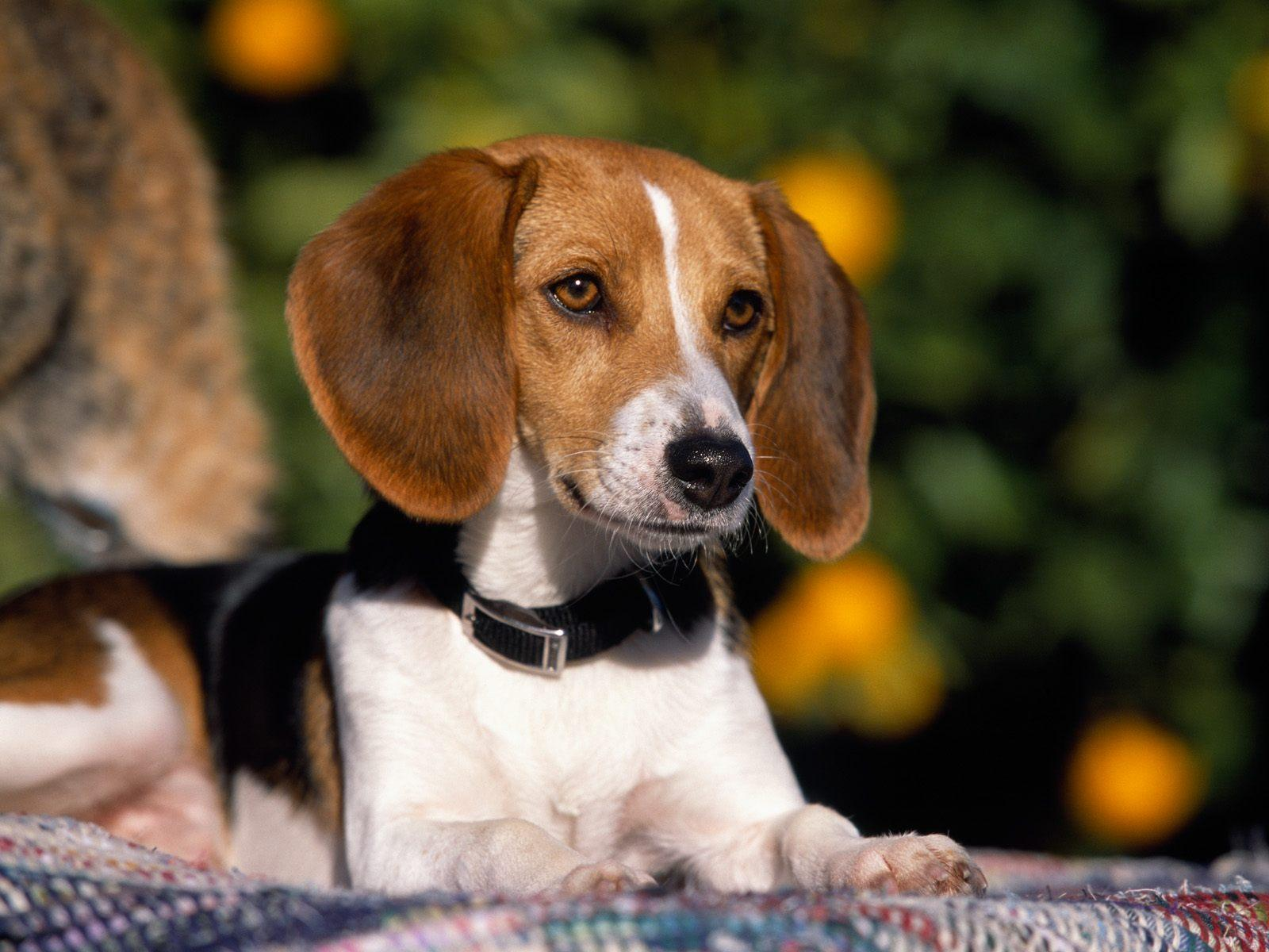 American Foxhound Facts, Temperament, Training, Puppies ...