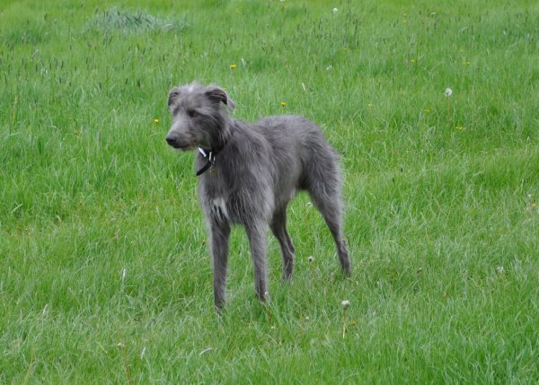 lurcher dog breed picture lurcher sprinting image lurcher dog images