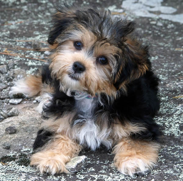 Wallpapers Yorkie Chon Full Grown