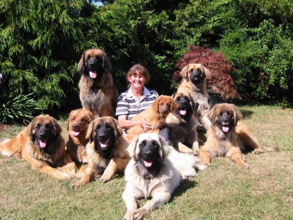 Leonberger Dog Info, Puppies, Temperament, Care, Training, Pictures