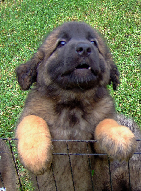 Leonberger Dog Breed » Everything About Leonbergers |Leonberger Dogs And Puppies
