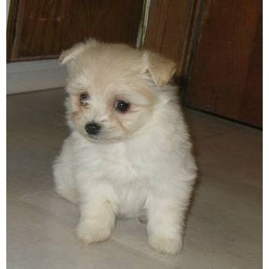 Maltese Dog Breed Information and Pictures