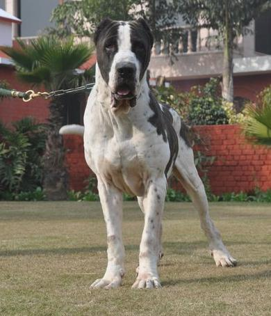 Bully Kutta Dog Info, Temperament, Training, Puppies, Pictures