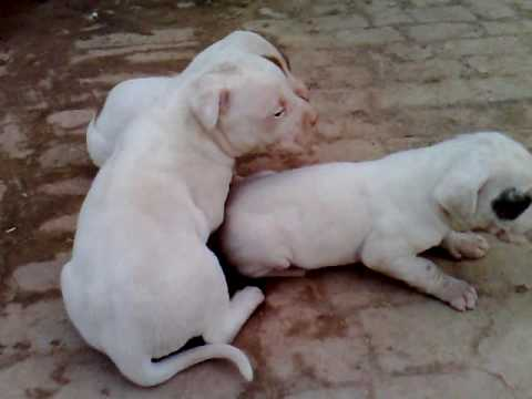 Bully Dog Puppies For Sale In India