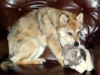 Husky Coyote Mix | www.pixshark.com - Images Galleries ...