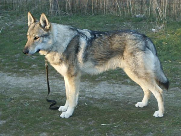 Dog Breeds From Wolves