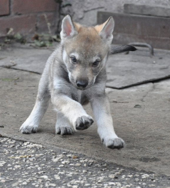Wolf Dog German Shepherd Puppies For Sale