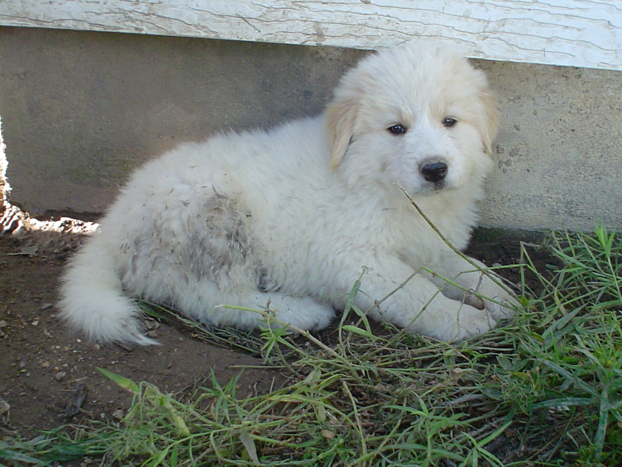 Golden Pyrenees Golden Retriever\/Great Pyrenees Mix Temperament, Pictures