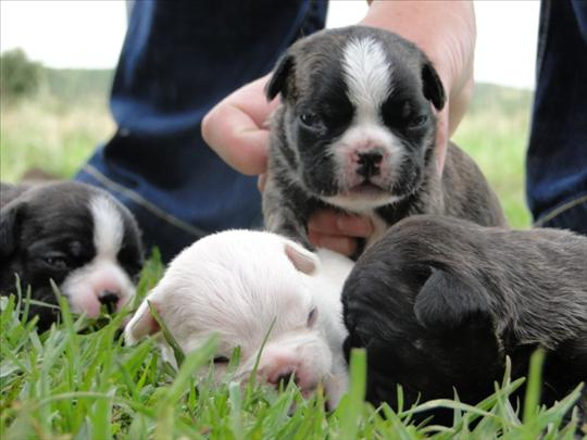 Shorty Bull Info History Temperament Training Puppies