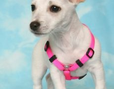 terrier pictures taco terrier puppies taco terrier puppy pictures taco ...
