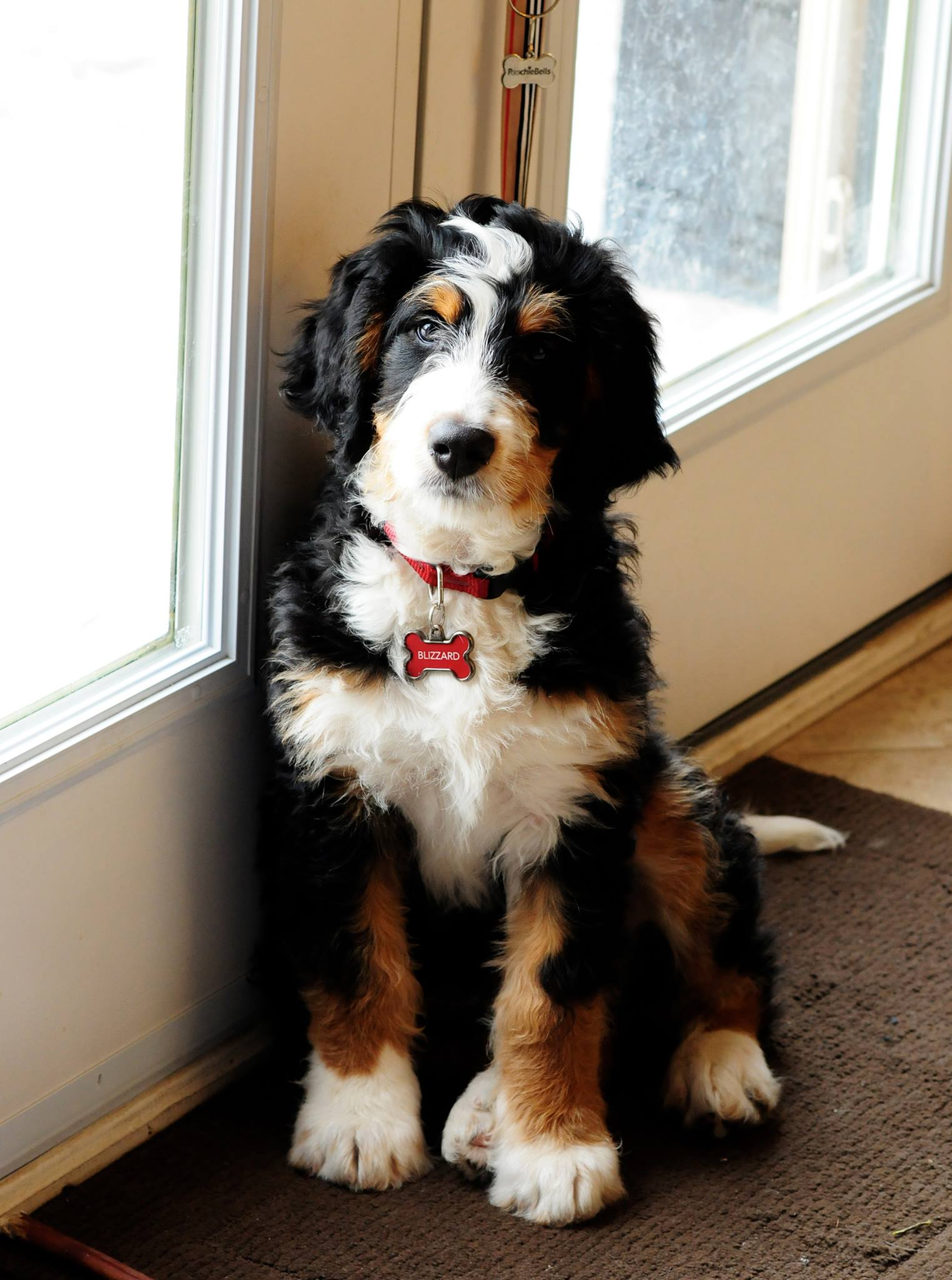 Pin Miniature Bernedoodle On Pinterest