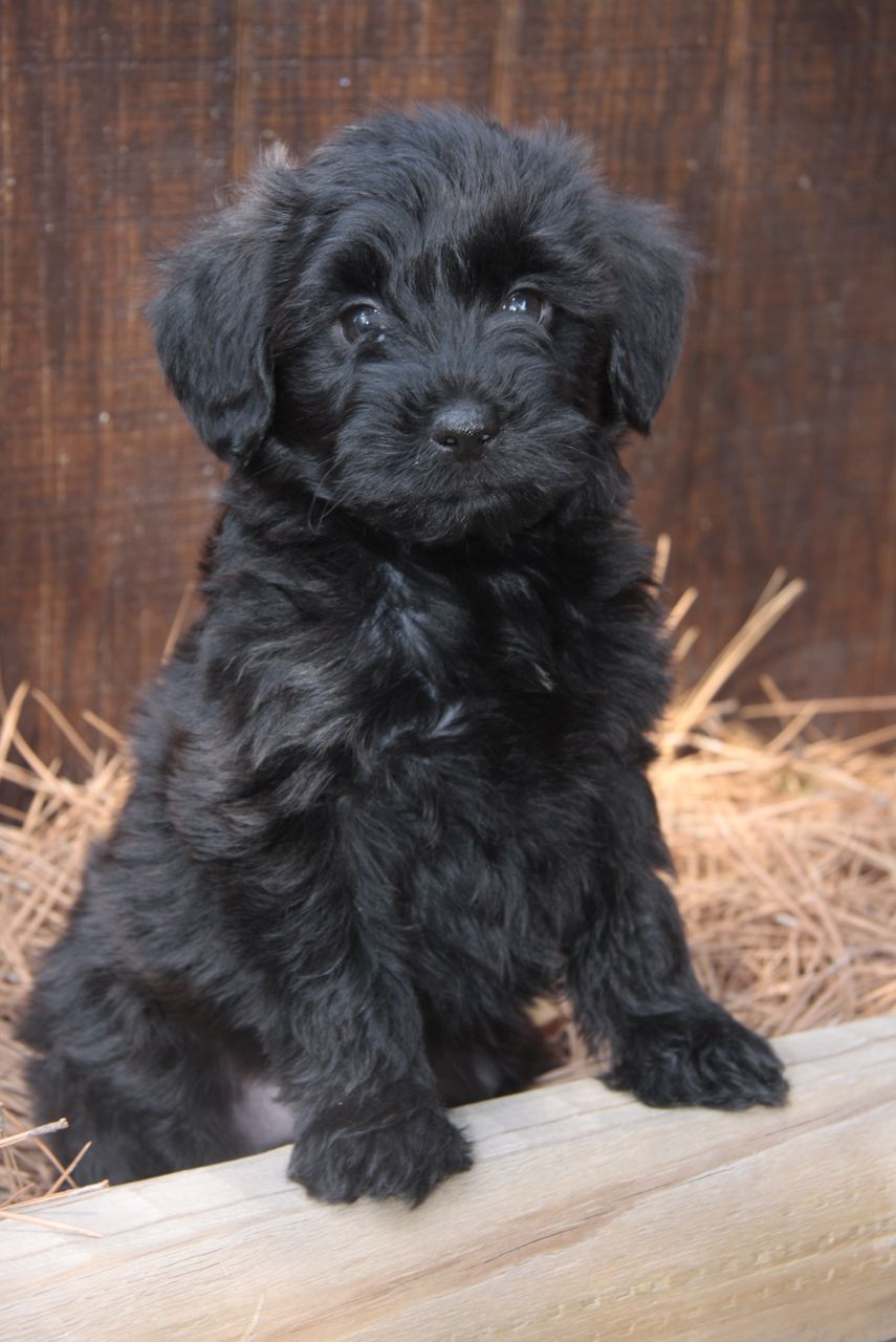 Pics Photos - Yorkie Poo Yorkie Poodle Mix Black White Yorkiepoo Pups ...