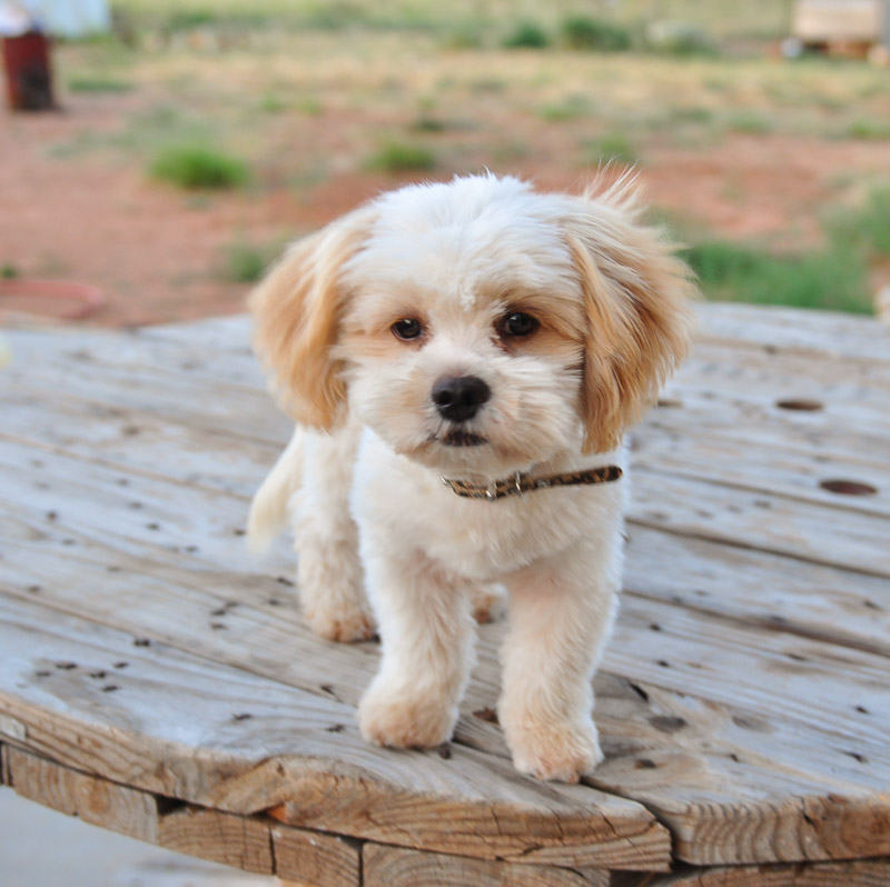 pictures of shih poo dogs pictures of shih poo shih