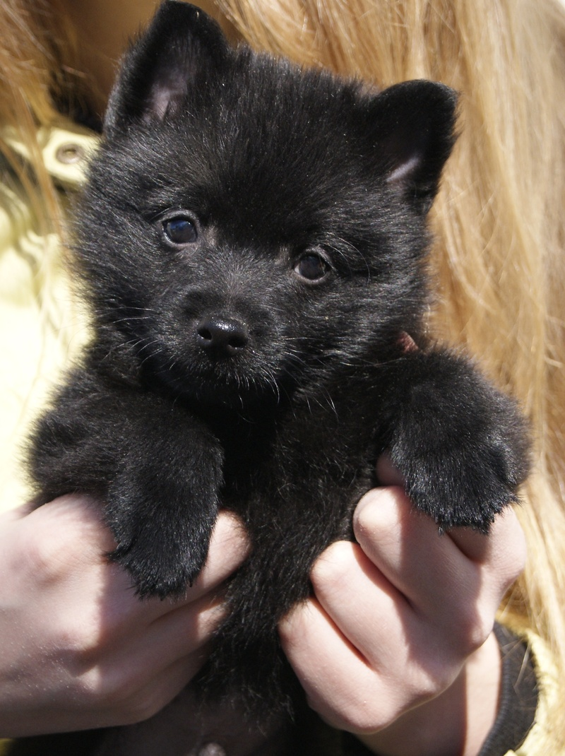 Schipperke Info Temperament Training Diet Puppies