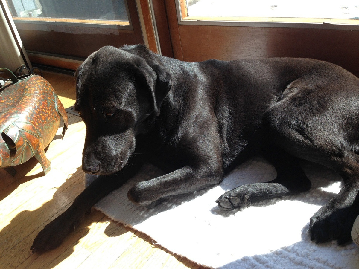Lab Pointer (Labrador x Pointer Mix) Info, Puppies ...