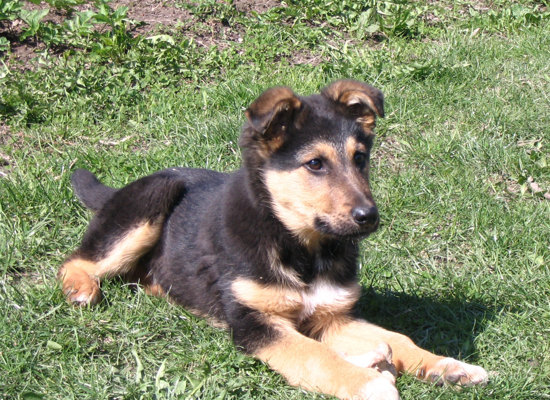 German shepherd terrier mix size
