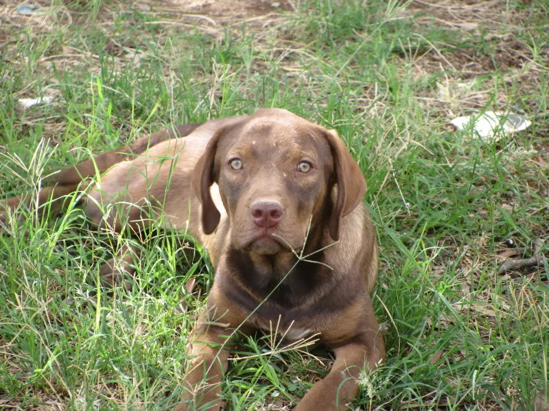 Labrador German Shorthair And 3 Or 4 Other Breeds All Mixed Up ...