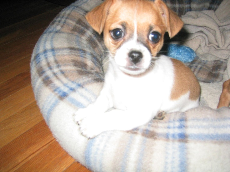 Jack Chi (Jack Russell Terrier x Chihuahua Mix) Info ...