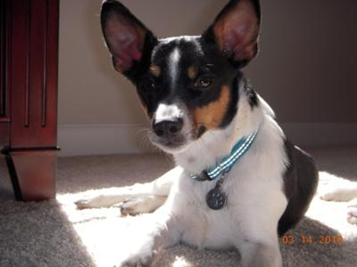 Jack Chi (Jack Russell Terrier x Chihuahua Mix) Info, Temperament ...