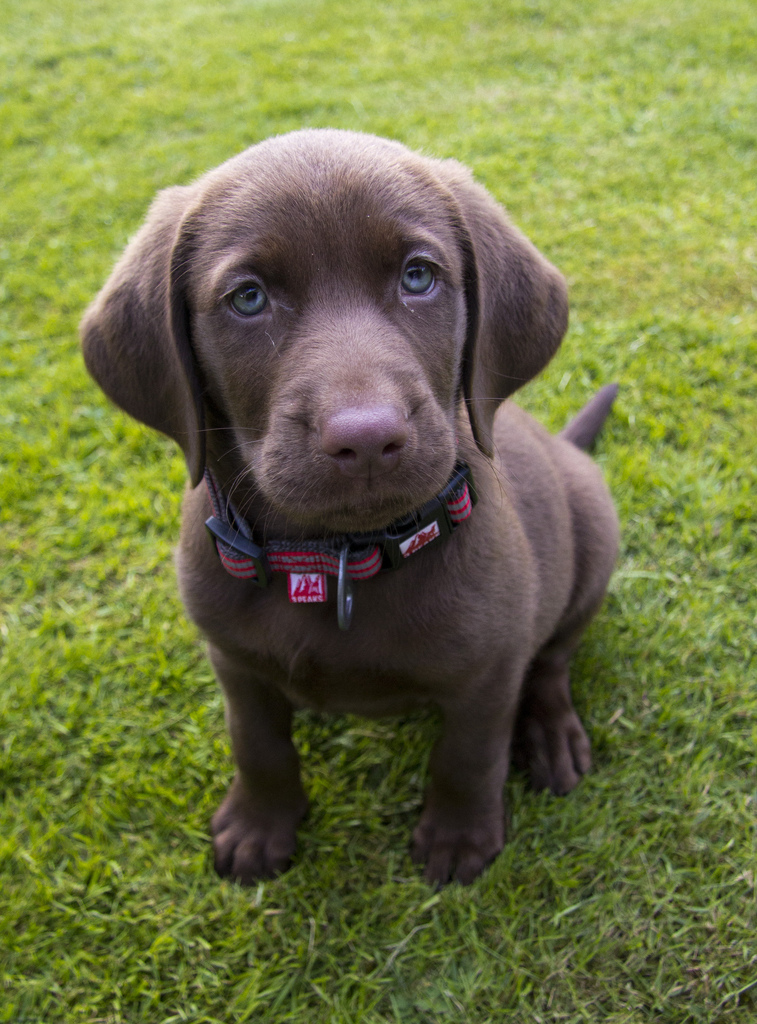 the gallery for gt weimaraner yellow lab mix puppy
