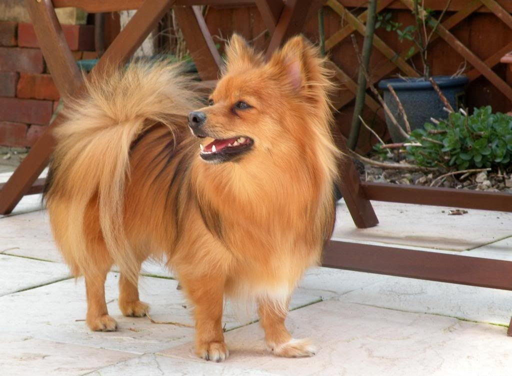 Paperanian (Papillon-Pomeranian Mix) Puppies Info, Care ... Pomeranian Mix