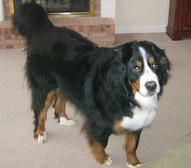 Bernese Golden Mountain Dog Puppies For Sale