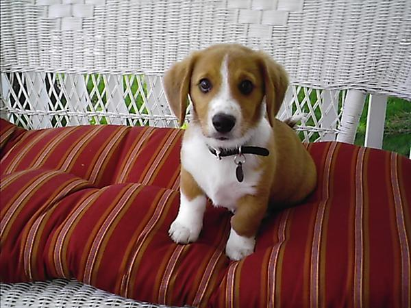 beagle mix corgi