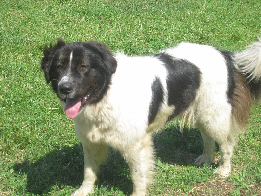 Karakachan (Bulgarian Shepherd) Info, Temperament, Puppies ...