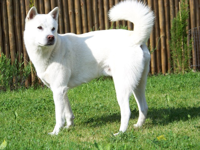 Kishu Inu Info Temperament Care Training Puppies Pictures
