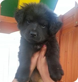 Chow And Lab Mix Puppies