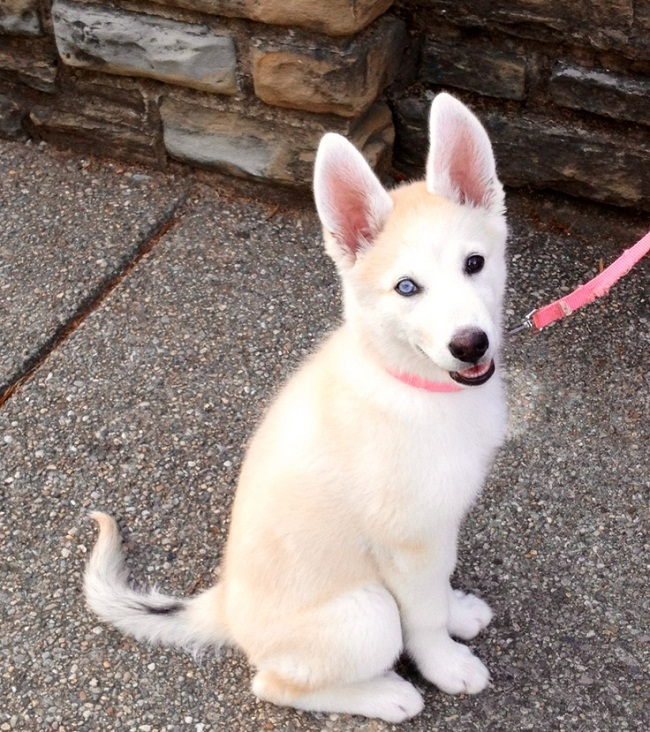 Images Of Husky German Shepherd Puppies Female Male Siberian | Dog ...