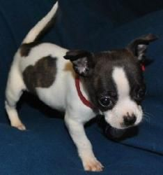 Pictures of boston terrier chihuahua mix