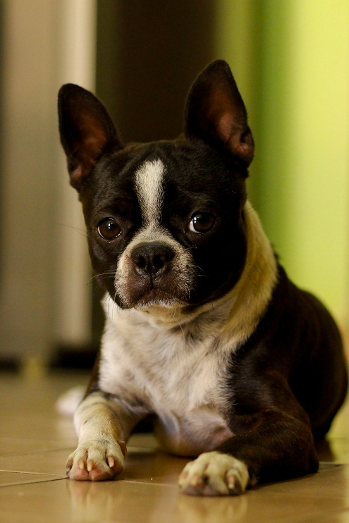 dog boston terrier chihuahua mix puppies boston terrier chihuahua mix ...
