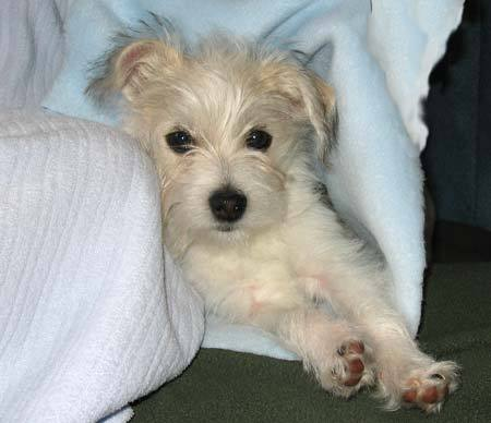 maltese mix dog chihuahua maltese mix puppies chihuahua maltese mix ...