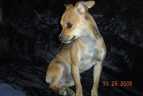 Chipit Chihuahua American Pit Bull Terrier Mix Info And