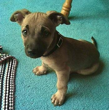 chipit chihuahuaamerican pit bull terrier mix info and