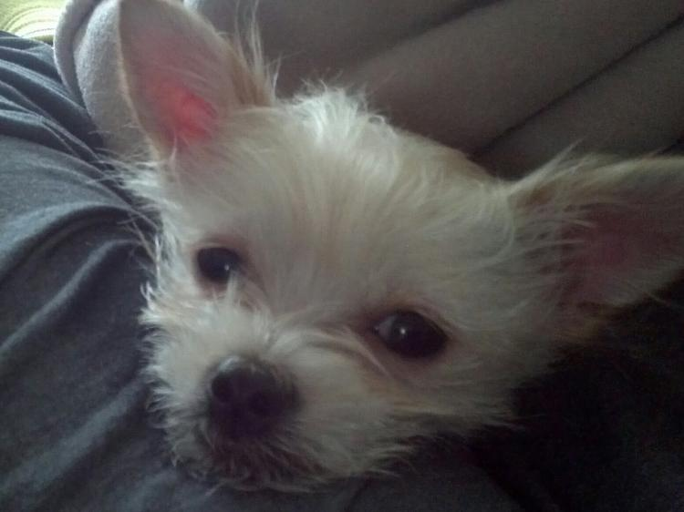 terrier chihuahua mix pictures cairn terrier chihuahua mix toxirn dog ...