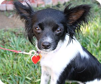 Chion Papillon Chihuahua Mix Info Temperament Puppies