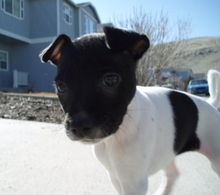 Chimation Chihuahua Dalmatian Mix Info Care Puppies