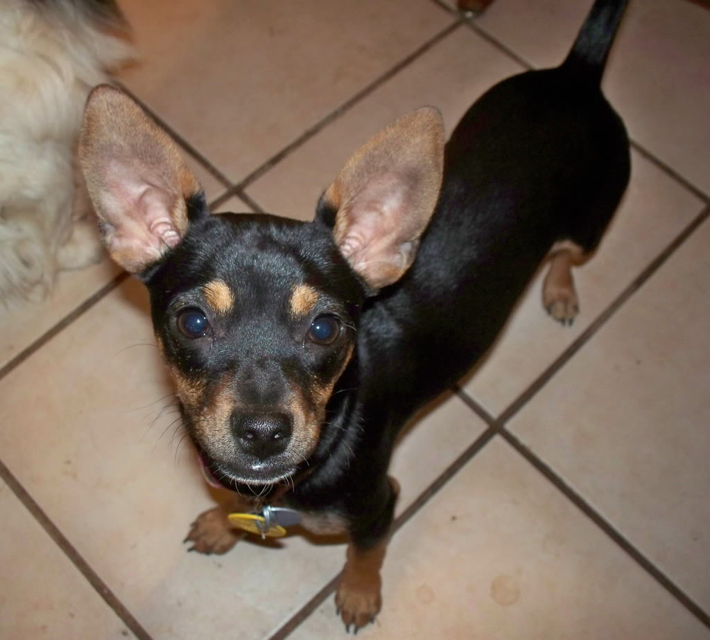 Chipin Dog (Miniature Pinscher-Chihuahua Mix) Info, Pictures, Puppies ...