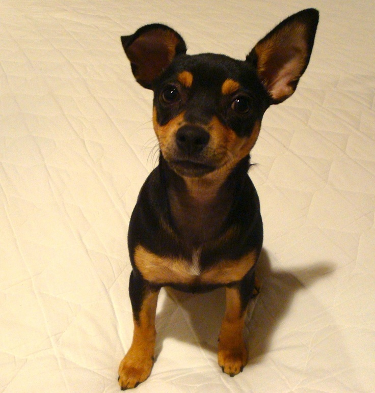 ... Chipin dog (miniature pinscher-chihuahua mix) info, pictures
