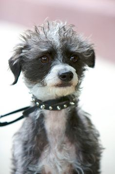 Pootalian Italian Greyhound X Poodle Mix Temperament